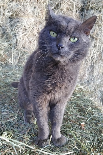 Smokey the barn cat at Middletown Animal Hospital